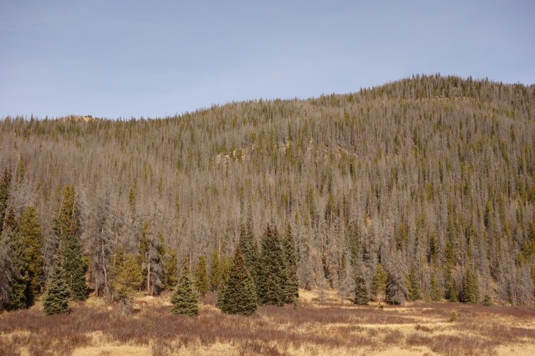 Unfortunately large swaths of the forest here is dead due to pine beatles.